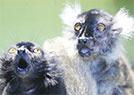 黑狐猴演绎两脸惊呆