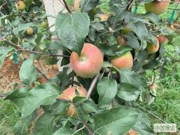 半城苹果满城香——云南昭阳苹果产业助力农民脱贫增收