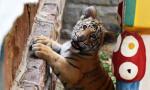 济南动物园人工饲养孟加拉虎宝宝茁壮成长