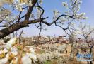 樱桃花开 春山可望