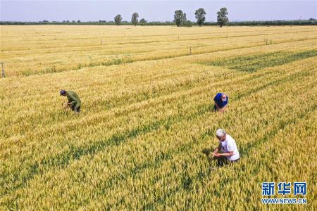 河北大城推广节水小麦