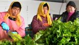 """青岛平度:""""品质+品牌""""发展芹菜产业"""