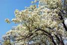 又见李花繁满枝!淅川·老城第二届李花节期待与您共赴春天的盛会