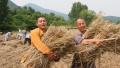 少林寺禅耕农场小麦丰收 武僧忙收粮