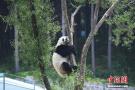 长春大熊猫上树只为凉快