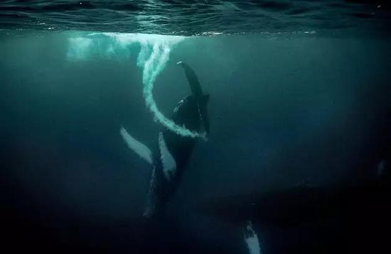 安妮/座头鲸用尾鳍击打出了一串泡泡。摄影:乔迪·弗莱迪安妮