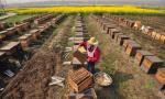 本溪市本溪县发展养蜂产业 年均养蜂产值近亿元