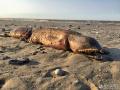 海滩现神秘无眼生物