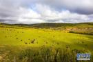 呼伦贝尔秋意显现 一群的牛羊在草原上吃草