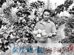 汤阴千亩黄梨硕果满枝