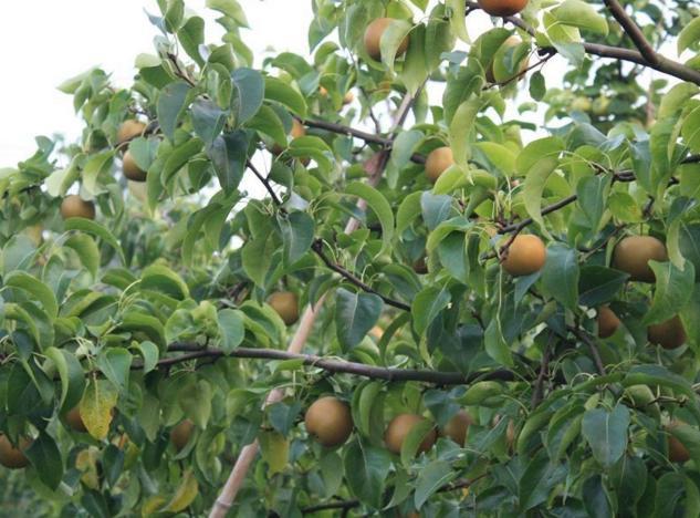 河南/核心提示:现在正是黄金梨的收获季节,河南虞城县的15万斤黄金...