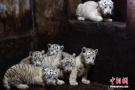 白虎破纪录产6胞胎