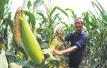 四川全省青贮玉米种植面积突破一百万亩