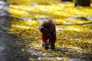 北京钓鱼台的银杏