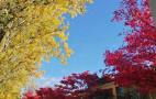 加拿大枫叶红似火