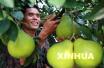柚子的营养跟果肉颜色有关系吗?