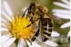 """联合国大会宣布5月20日为""""世界蜜蜂日"""""""