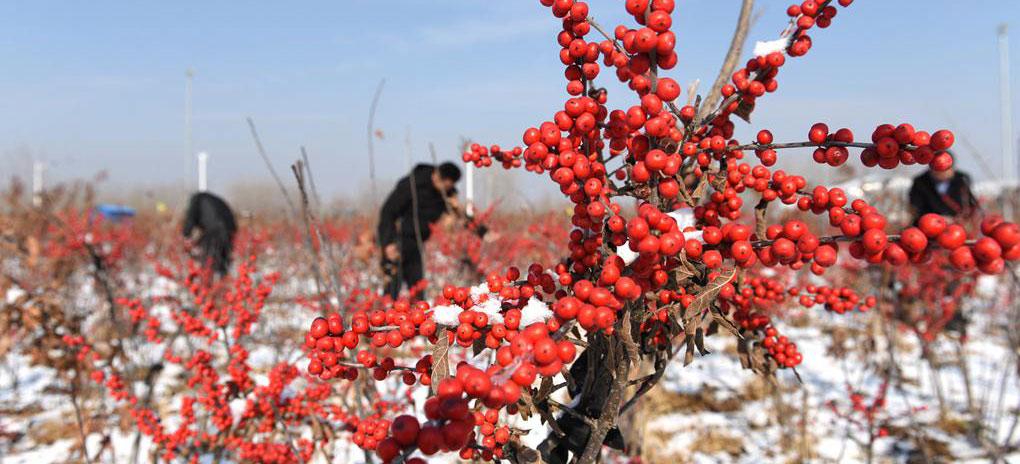 山东沂南:映雪冬青别样红