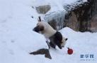 旅芬大熊猫适应环境