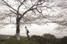"""杭州西湖邊的""""櫻花王""""走了 現在看到的是新版"""