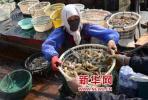 休渔期临近虾虎天天涨 3小时捞20斤上岸就被抢