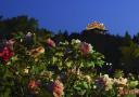 景山公园夜赏牡丹