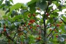 青岛这些地方的樱桃下周就能摘了 赶紧安排时间吧