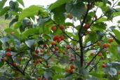 青岛这些樱桃能摘了