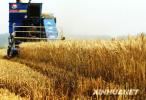 廊坊已收获小麦51.74万亩 夏收面积过半
