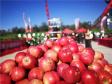 河南灵宝:苹果映红丰收节