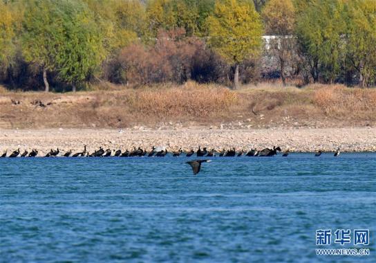 河南洛阳:黄河湿地群鸟翩跹
