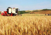 北方小麦长势均好于往年 部分地区麦收进度超过八成