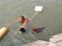 奇!大公鸡陪主人游泳健身 引百人围观
