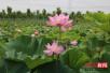 廊坊香河县刘宋镇打造万亩生态农业旅游观光园