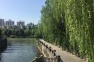 """柳絮""""结扎针""""药剂将在杭州全市推广 明年柳絮再也不会乱飘了"""