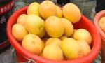 大棚甜杏抢鲜上市