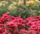 杭州花圃 月季竞香