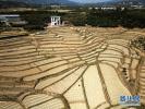 """转基因黄金大米在美获食用许可 被誉为""""最人道的科技产品"""""""