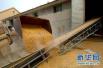 青島夏糧收購30.7萬噸 非國有糧食企業收購佔比近七成