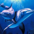 海豚是如何哺乳的?