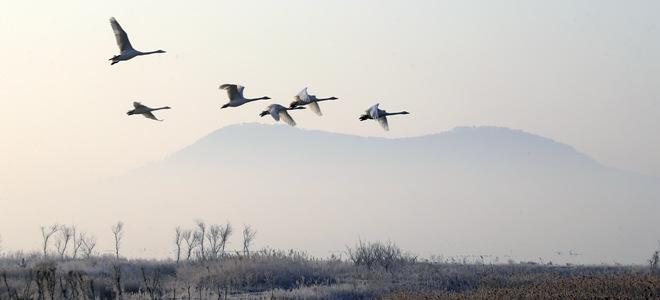 山东荣成:大天鹅开始回迁