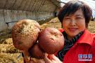 秦皇島:人工培育赤松茸開闢農民增收新路徑