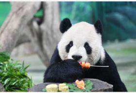 """特写:赠台大熊猫""""团团""""和女儿""""圆仔""""吃月饼过中秋"""