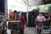 河南鲁山:香菇铺满
