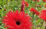 河北灤南:鮮花種植促增收